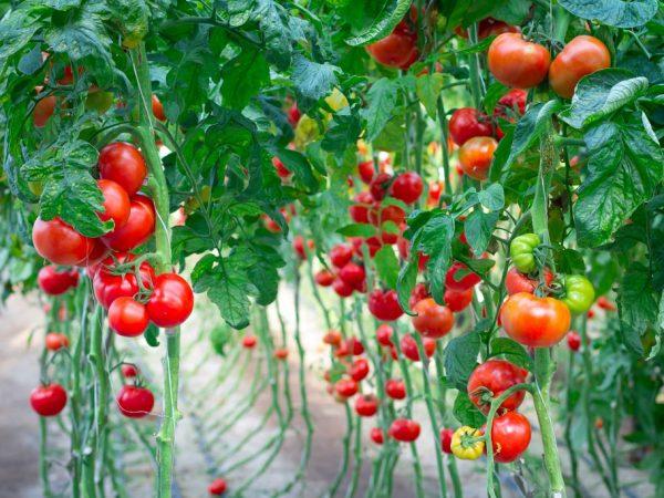 Толкование снов о помидорах