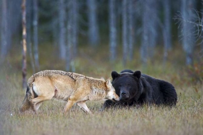 Трактовки стаи волков по сонникам