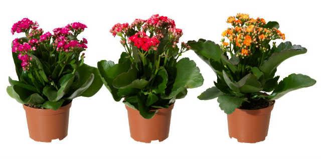 в горшочках цветы