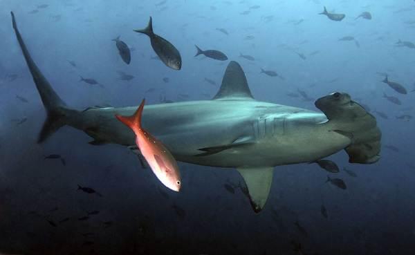 Виды-акул-Описание-названия-и-особенности-акул-45