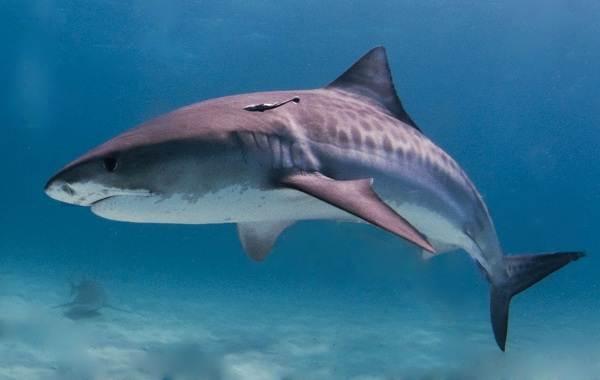 Виды-акул-Описание-названия-и-особенности-акул-5