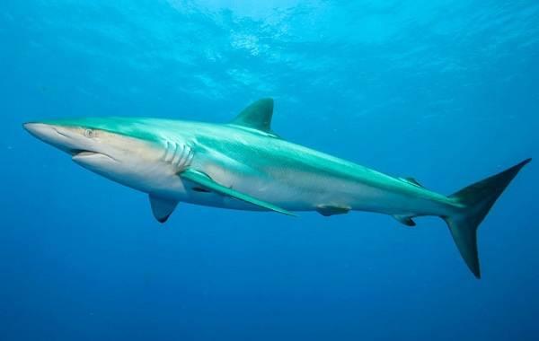 Виды-акул-Описание-названия-и-особенности-акул-9