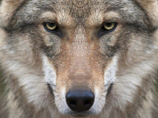 Волк во сне, к чему