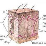 Волосы это мертвые клетки. Строение