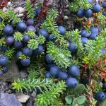 Выращивание водяники (шикши) в саду