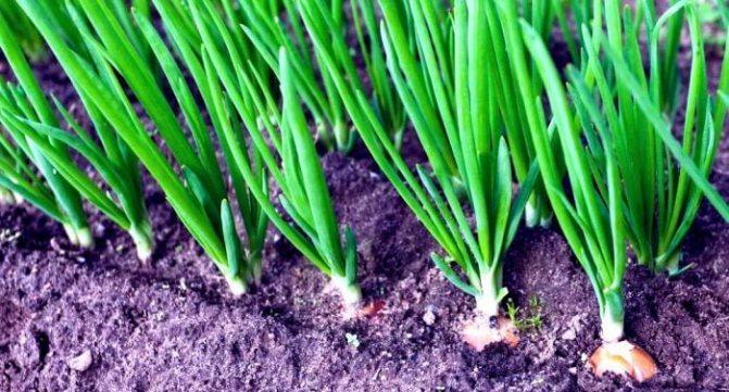 Зеленый лук детям