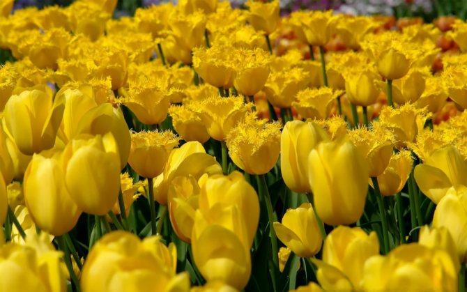 желтые цветы к чему дарят