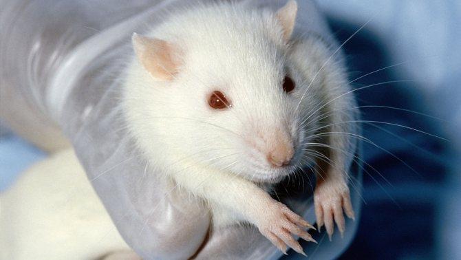 Живых декоративных крыс категорически нельзя дарить на Новый 2020 год: это сулит неприятности как дарителю, так и одариваемому