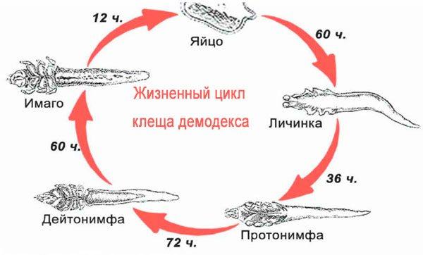 жизненный цикл глазного клеща